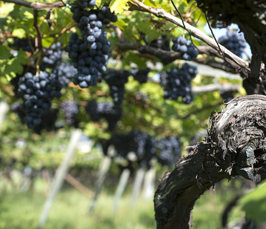 Weinkultur - grapes on a vine